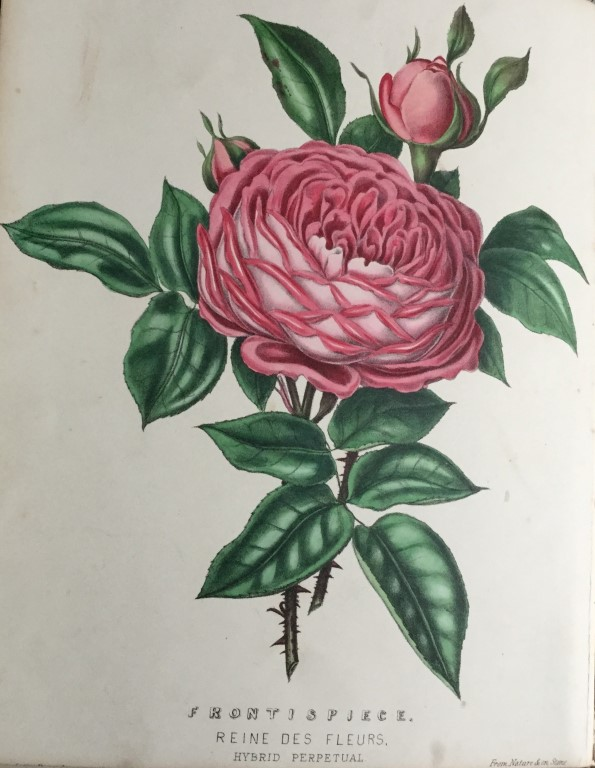 Beauties of the Rose by Henry Curtis