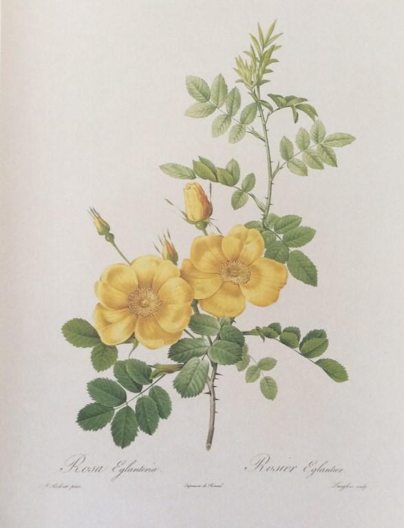 Rosa Eglanteria (Rosa foetida).