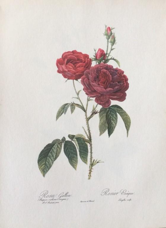 Rosa Gallica.