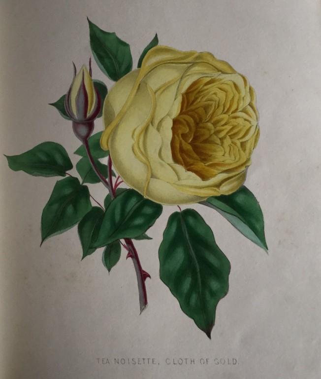 Tea Noisette Rose Cloth of Gold