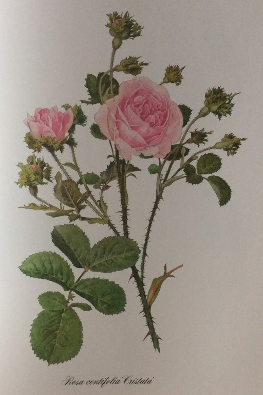 One of the 132 paintings by Alfred Parsons to illustrate The Genus Rosa.