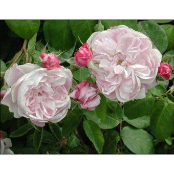 Centifolia Roses.