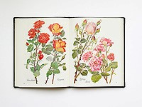 Colour photographs of roses