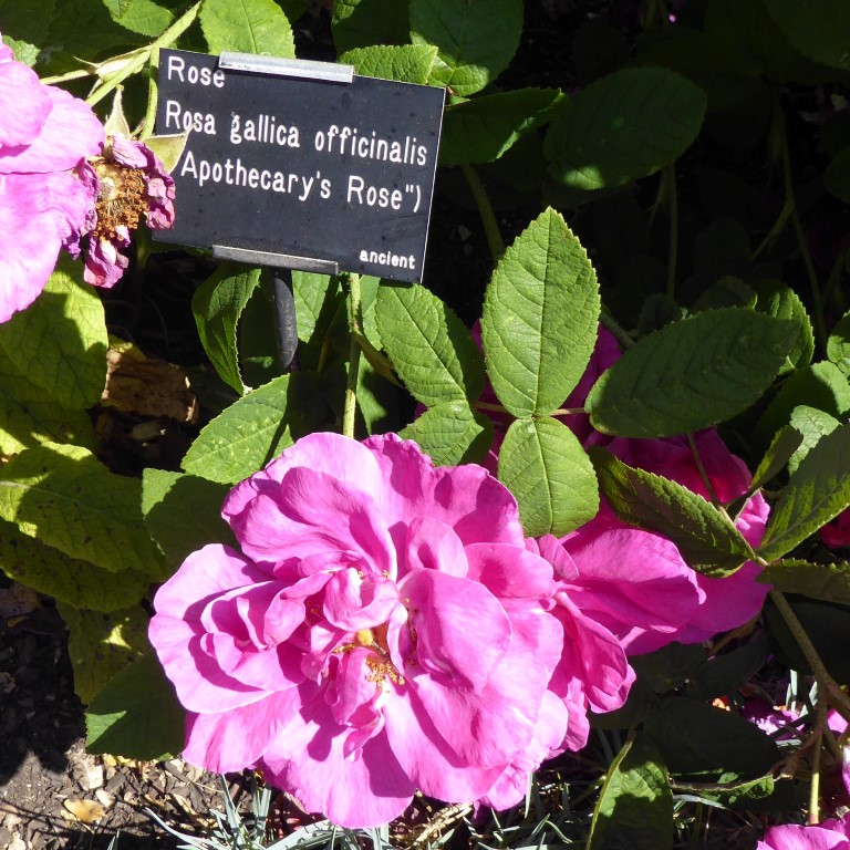 The double form of Rosa gallica 'officinalis'