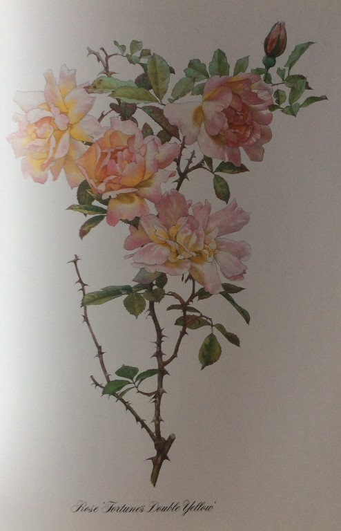 A second watercolour from The Genus Rosa.