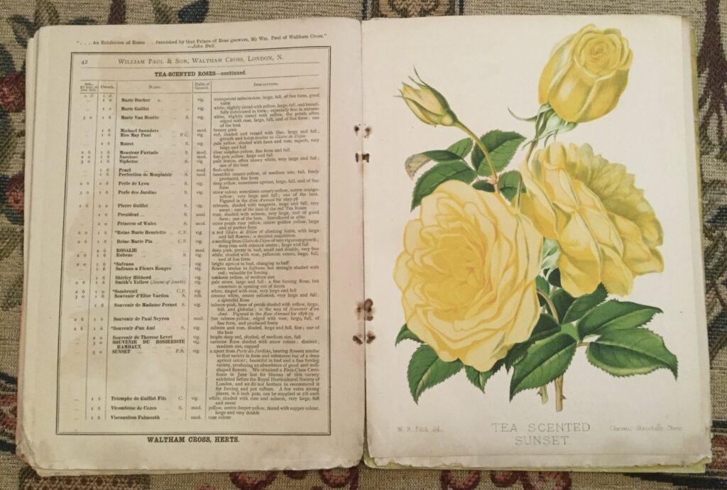 Yellow rose illustration